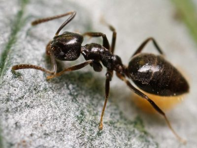 Odorous House Ant Control Services