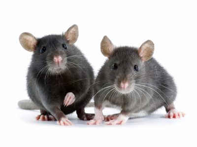 Norway Rat Control Services