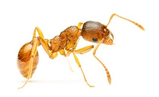 Pharaoh Ants Control Services