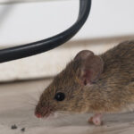 Mouse problem in Mississauga